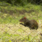 Ratón - Mouse