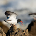 One-footed American Pied Oystercatcher