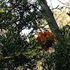 Cedar rust gall