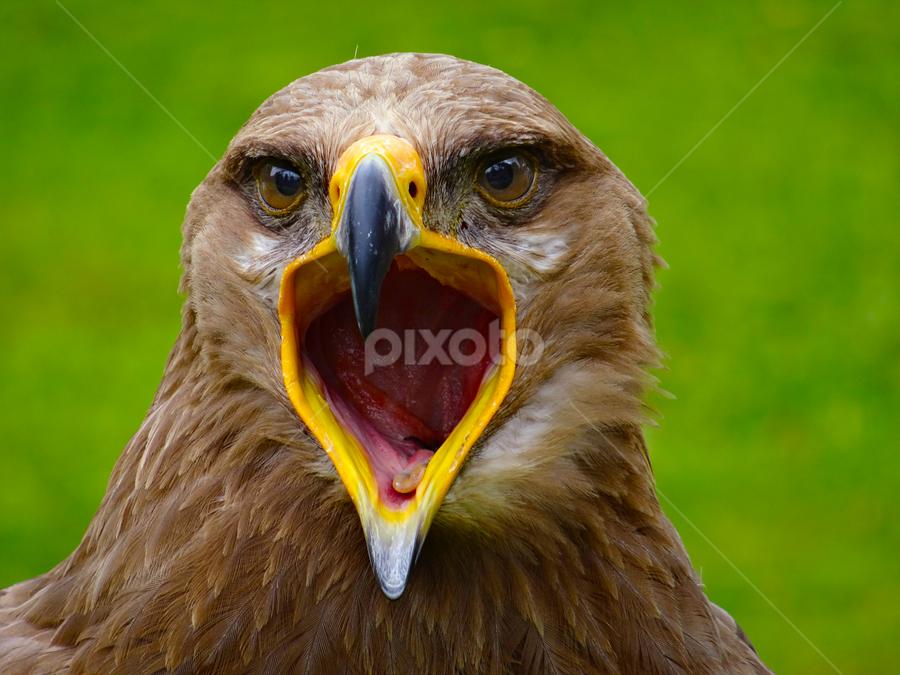 by Fayola Henderikse - Animals Birds ( bird, eagle )