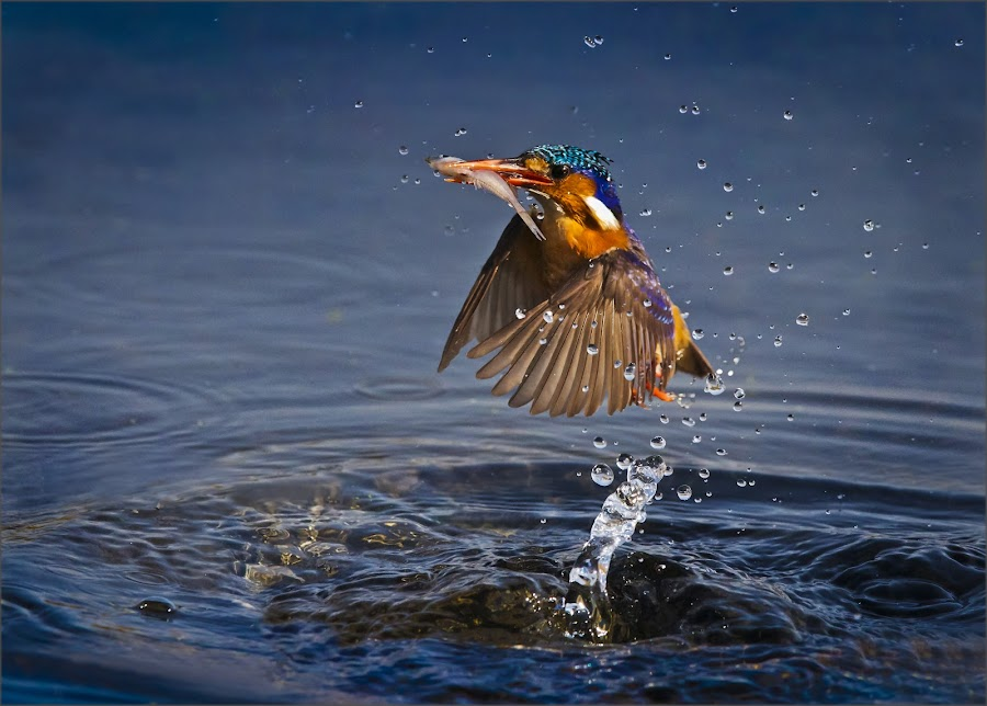 kingfisher by Dries Fourie - Animals Birds