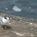 Immature Common Tern