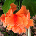 Dubble orange Hibiscus