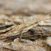 Bark mimicking grasshopper