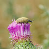 Thistle Weevil