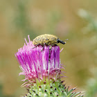 Thistle Weevil