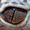 Leopard Gecko (close up eye shots)
