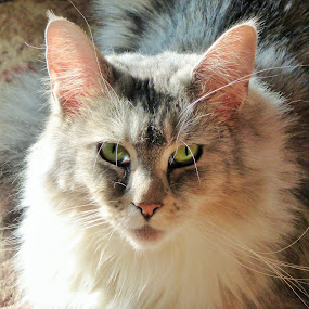 Sweet Gabby by Annette Long-Soller - Animals - Cats Portraits ( white, green eyes, grey, tan, portrait, mainecoon )