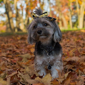 Abbie in the leaves by Janice Poole - Animals - Dogs Portraits ( yorkie, fall, cute, leaves, dog,  )
