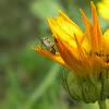Tarnished Plant Bug