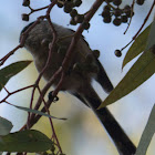 Long-tailed Tit; Mito