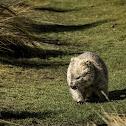 Common Wombat (smaller Flinders Island sub-species of bare-nose wombats)