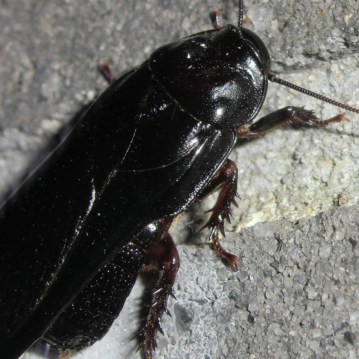 Australian wood cockroach