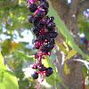 purple tree berries