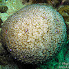 Type of Coral