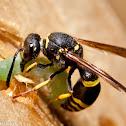 Ancistrocerus Wasp