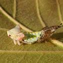 Última exúvia em Aetalionid treehopper