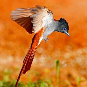 Paradise Flycatcher by Chris Krog - Animals Birds ( bird, flycatcher, paradise )