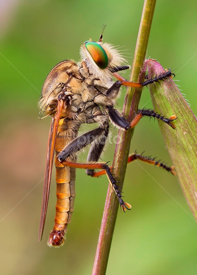 Wait for Prey.... by Vincent Sinaga - Animals Insects & Spiders