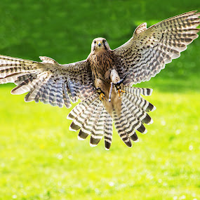 In Flight by Tracey Taylor - Animals Birds ( bird, flying, flight, bird of prey, kestrel )