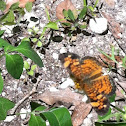 Phaeon crescent butterfly