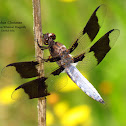 Common Whitetail Dragonfly (M)
