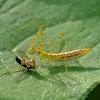 Assassin bug nymph vs. fly