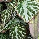 Begonia 'Emerald Jewel' (hybrid)