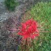 Lycoris (Spider Lily)