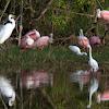 Snowy Egret & Roseate Spoonbill