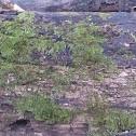California Moss