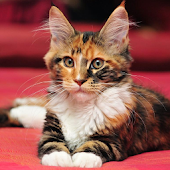 Maine Coon Wallpapers