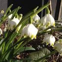 DK: Dorthea lilje