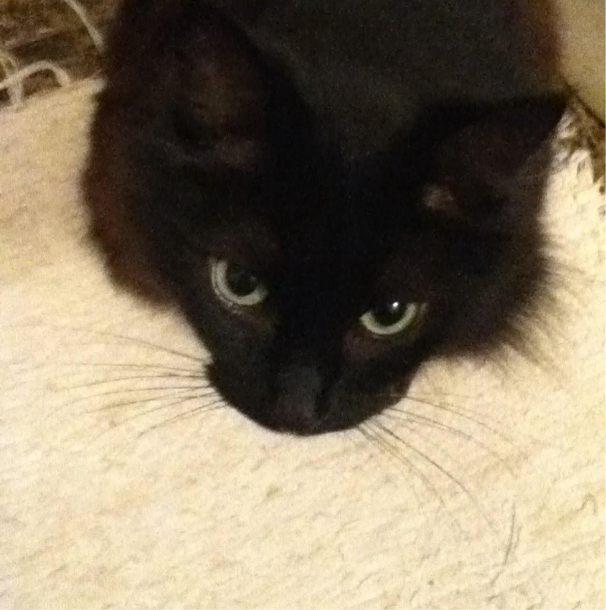 Black Norwegian Forest Cat: Skogkatt