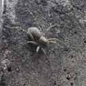 狼蛛Lycosidae