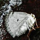 Bluish Spring Moth