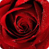 Red Roses HD Live Wallpaper