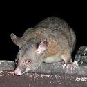 Northern Brushtail Possum
