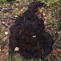 Perigord Truffle