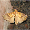 White-pupiled Scallop Moth