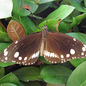 Common Crow Butterfly or Oleander Butterfly