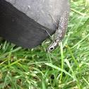 Eyed Elater - click beetle