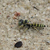 Ant-hunting wasp (male)