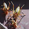 Tettigoniidae family
