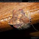 Polilla peluda / Walker's moth