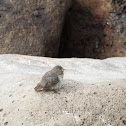 Small Tree Finch