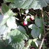 Fragaria vesca/divlja jagoda