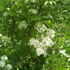 Shrub with white flowers