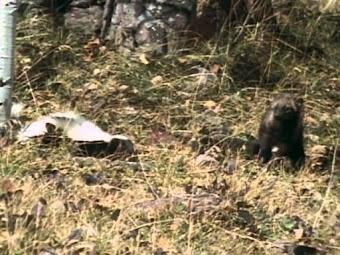 Weasels: Sleek and Savage -- Part 2