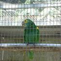 Yellow-shouldered Amazon